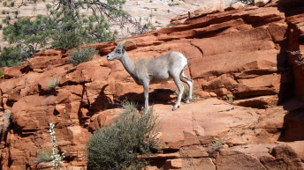 Zion Canyon Field Institute Lecture Series discusses bighorn sheep herding