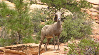 Zion National Park Bighorn Sheep herds growing in numbers